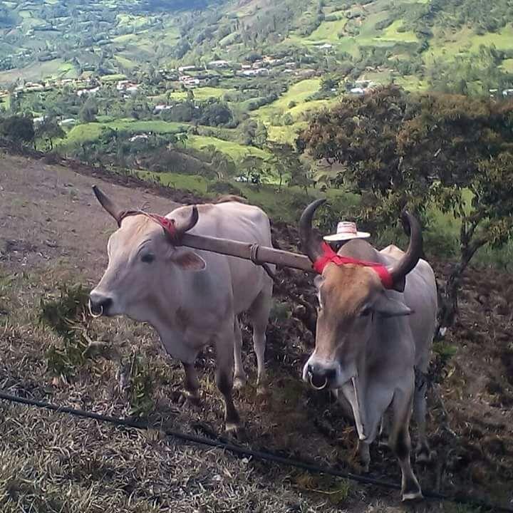 Los bueyes en el municipio de San Lorenzo son la principal herramienta del trabajo para el campesino y son considerados un integrante más de la familia.
