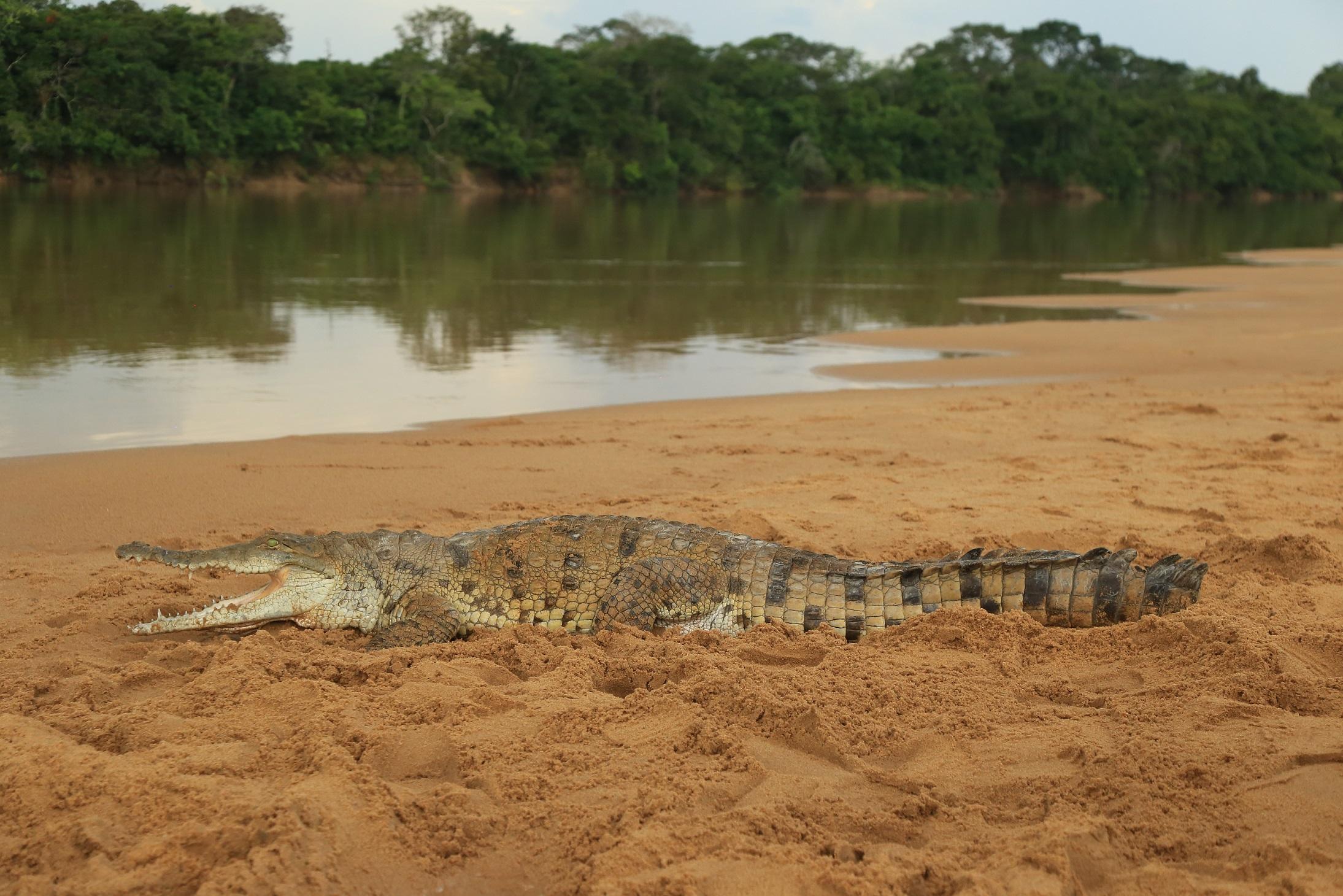 Cocodrilo anidando en playa del río Manacacías. Foto: cortesía de Cormacarena.