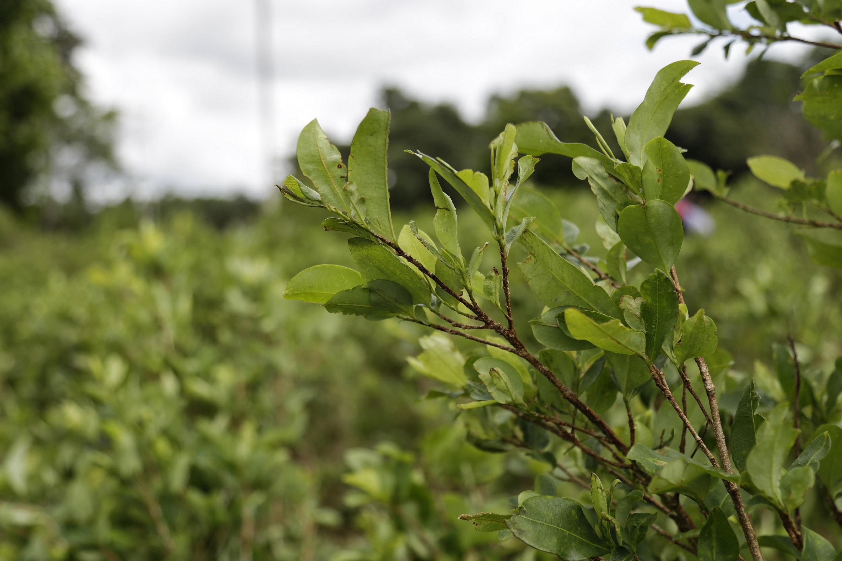 Cultivos de coca.