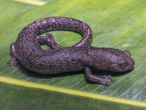 Salamandra de Chingaza, Bolitoglossa adspersa. Foto: Parques Nacionales Naturales de Colombia.
