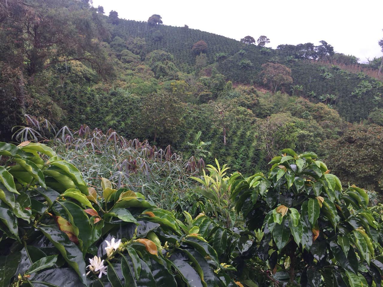 San Lorenzo, ubicado en el ramal del Nudo de los Pastos, tiene un clima privilegiado para la agricultura, especialmente para el cultivo de café. Foto: Cortesía Luis Fernando Moreno.