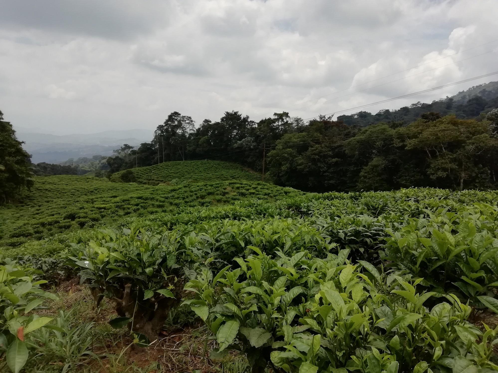 Cultivos de té en Chicoral, Valle del Cauca.