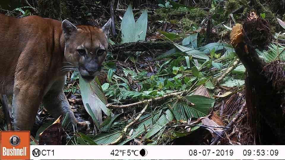Puma concolor. Foto: Parques Nacionales Naturales de Colombia.