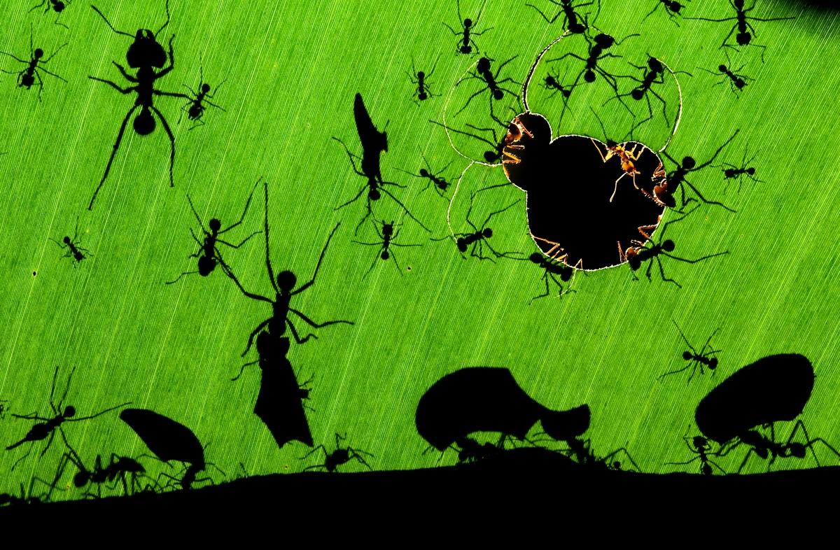 Hormigas cortadoras de hojas en Costa Rica. Foto: WWF