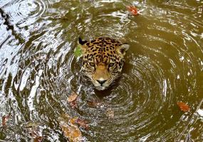 Foto: César Llanos Chacón / Tiger es un jaguar que fue entregado a Cabildo Verde, en Sabana de Torres, cuando tenía apenas tres meses de nacido. Hoy cumple ocho años en esta reserva.