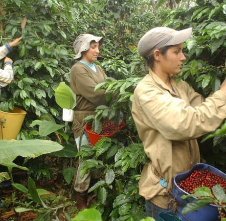 Caficultoras recogiendo café. Foto: Colprensa.