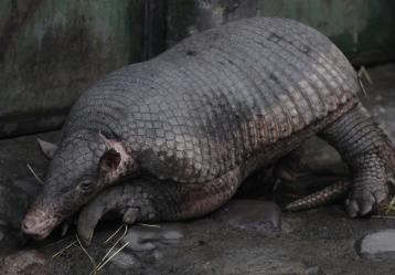Ocarro o armadillo gigante. Foto: Colprensa