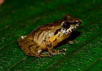 La rana carranguera 'Pristimantis Carranguerorum'. Foto: Parques Nacionales Naturales.