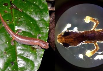 'Bolitoglossa yariguiensis', nueva especie de anfibio de la familia Plethodontidae (salamandras sin pulmones) descubierta recientemente en los bosques de la Serranía de los Yariguíes (Santander). Foto: Cortesía Universidad Industrial de Santander.