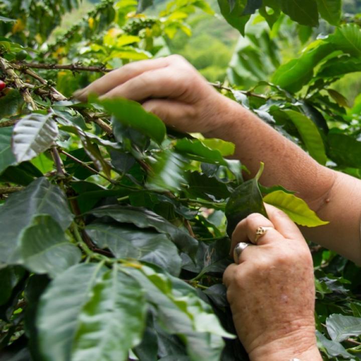 Alma Verde ha sembrado 14 mil árboles en cuatro microcuencas de Neira y con ayuda del Comité de Cafeteros de Caldas han exportado este proyecto a otros ocho municipios del departamento. Foto: Cortesía Comité de Cafeteros de Caldas.
