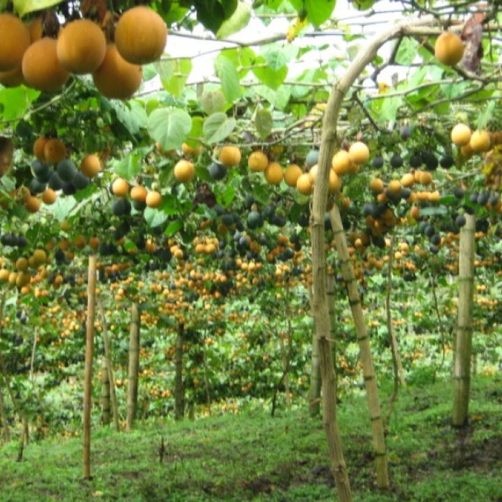 Granadilla gulupa el fruto de santander radio nacional for Viveros en colombia